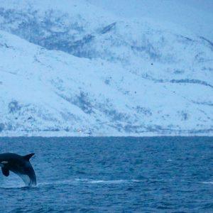 Safari baleine et orque à bord d'un voilier au 69 NORD Sommaroy