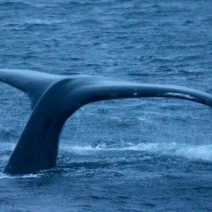 Croisière pour la migration des baleines à bosse vers Tromso - 69 NORD