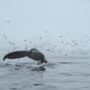 Société touristique pour excursion en voir pour voir baleines et orques vers Tromso
