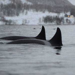 Où voir les dauphins vers Tromso en Norvège?