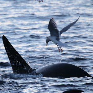 Tromso Baleine Orque : sortie en mer sur voilier avec 69 NORD