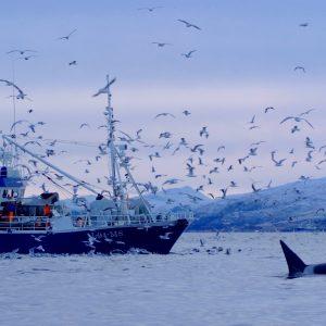 Voir les orques en Norvège avec 69 Nord Sommarøy Troms