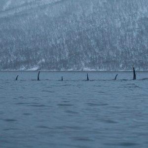 Séjour pour voir orque et baleine à Tromso