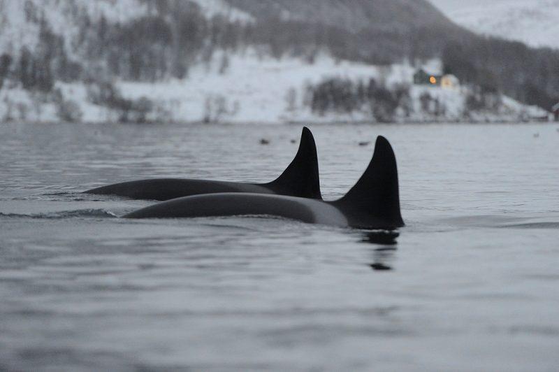 Quand voir les orques a tromso ? 69 NORD