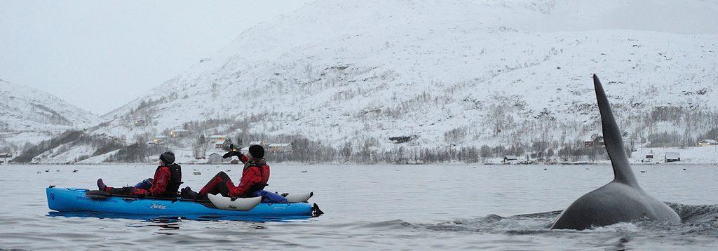 Voir orque et baleine en kayak à Sommaroy