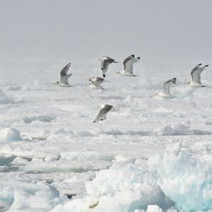 Découvrir la faune polaire à bord d'un voilier avec skippeur avec 69 NORD