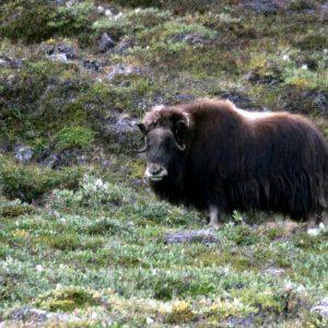 Boeuf musqué au Groenland avec 69NORD